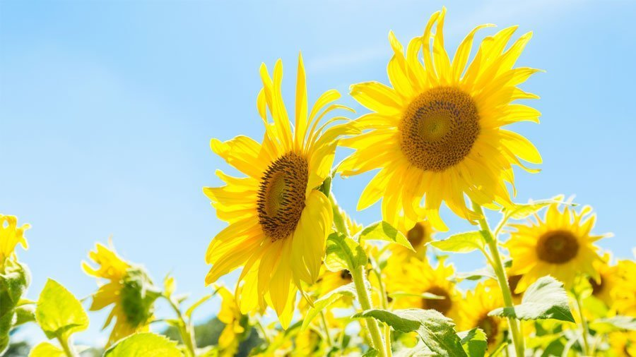 "Episode 10: As promised – ""Let's Go Sunning!"" Coppal House Farm's Sunflower Festival"