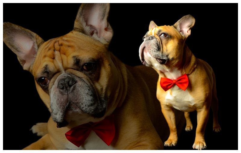 french-bulldog-professional-pet-dog-photographer-new-york-new-jersey-v3